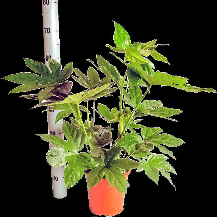 Illustratie: handelsfoto Fatsia japonica. Naast de Vingerplant staat een veilstok.