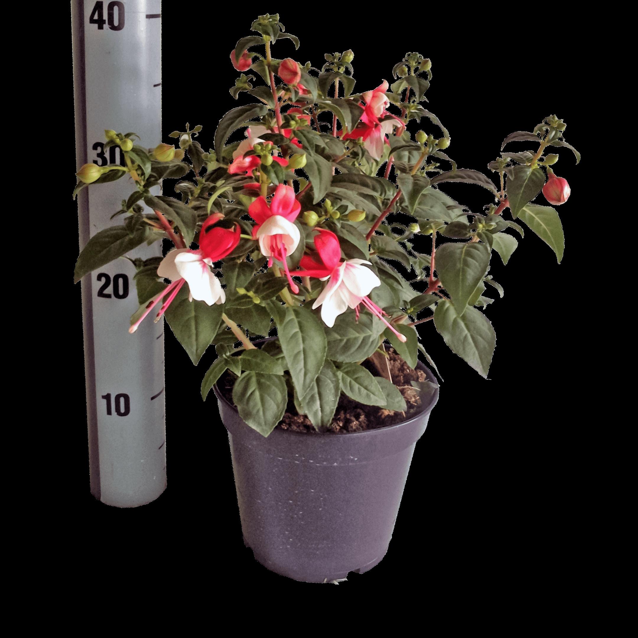 Illustratie: foto van de Fuchsia Liebelei naast een stok voor de veiling.