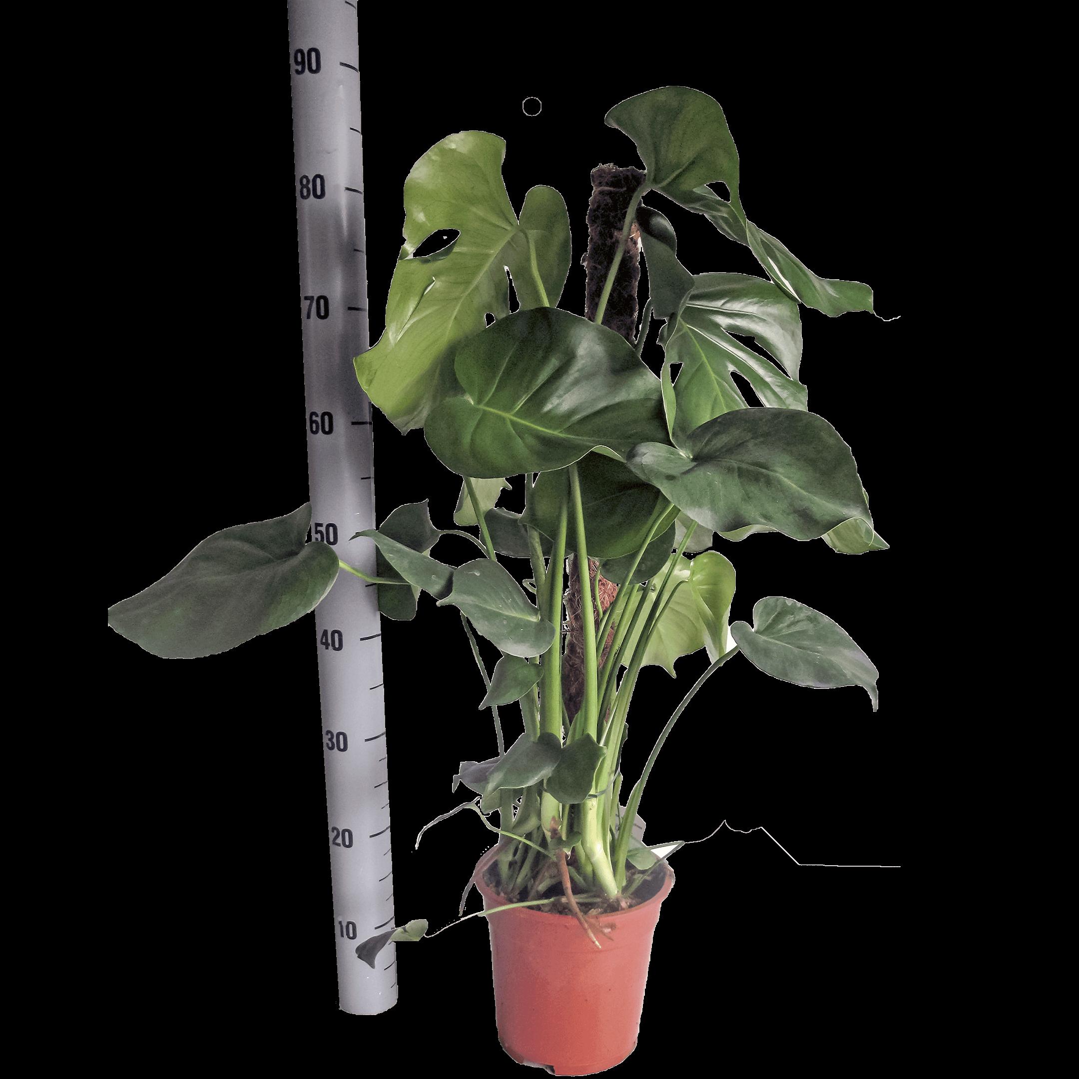 Foto van een Monstera Delicosa bij de consument beter bekend als de gatenplant.