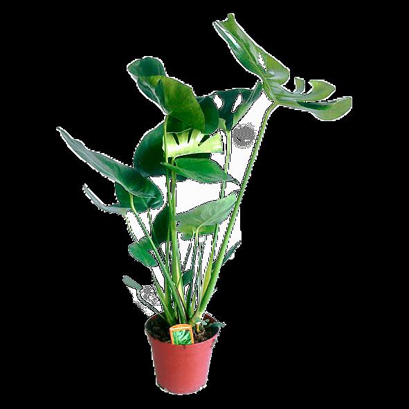 Foto van monstera in een pot met een doorsnede van 17 centimeter. Een monstera is een gatenplant.