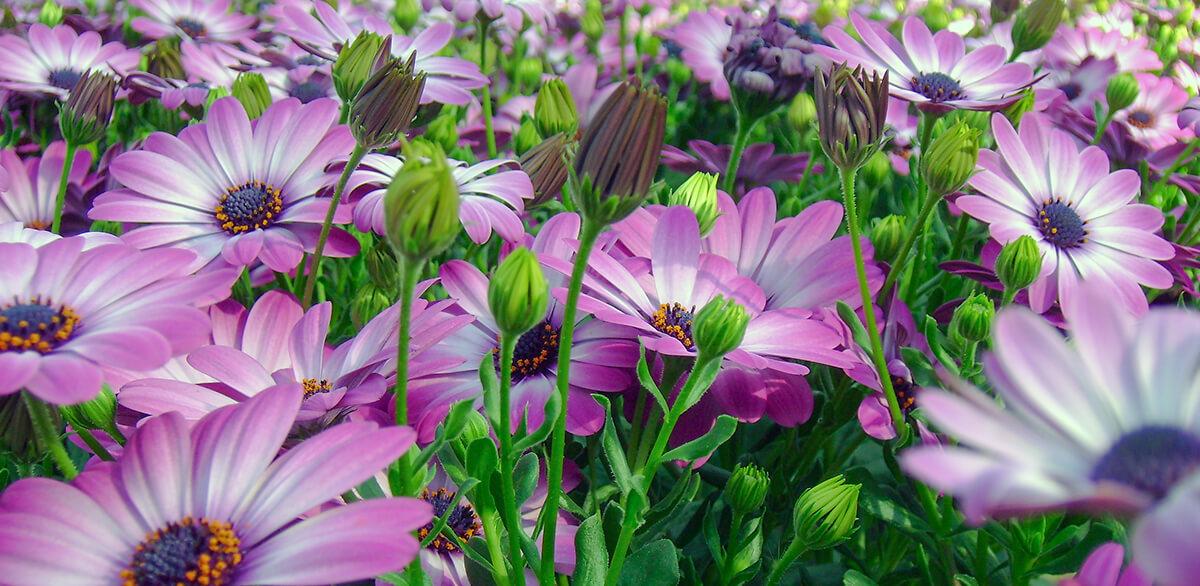 Foto: bed van paarse Spaanse margrieten (Osteospermum).